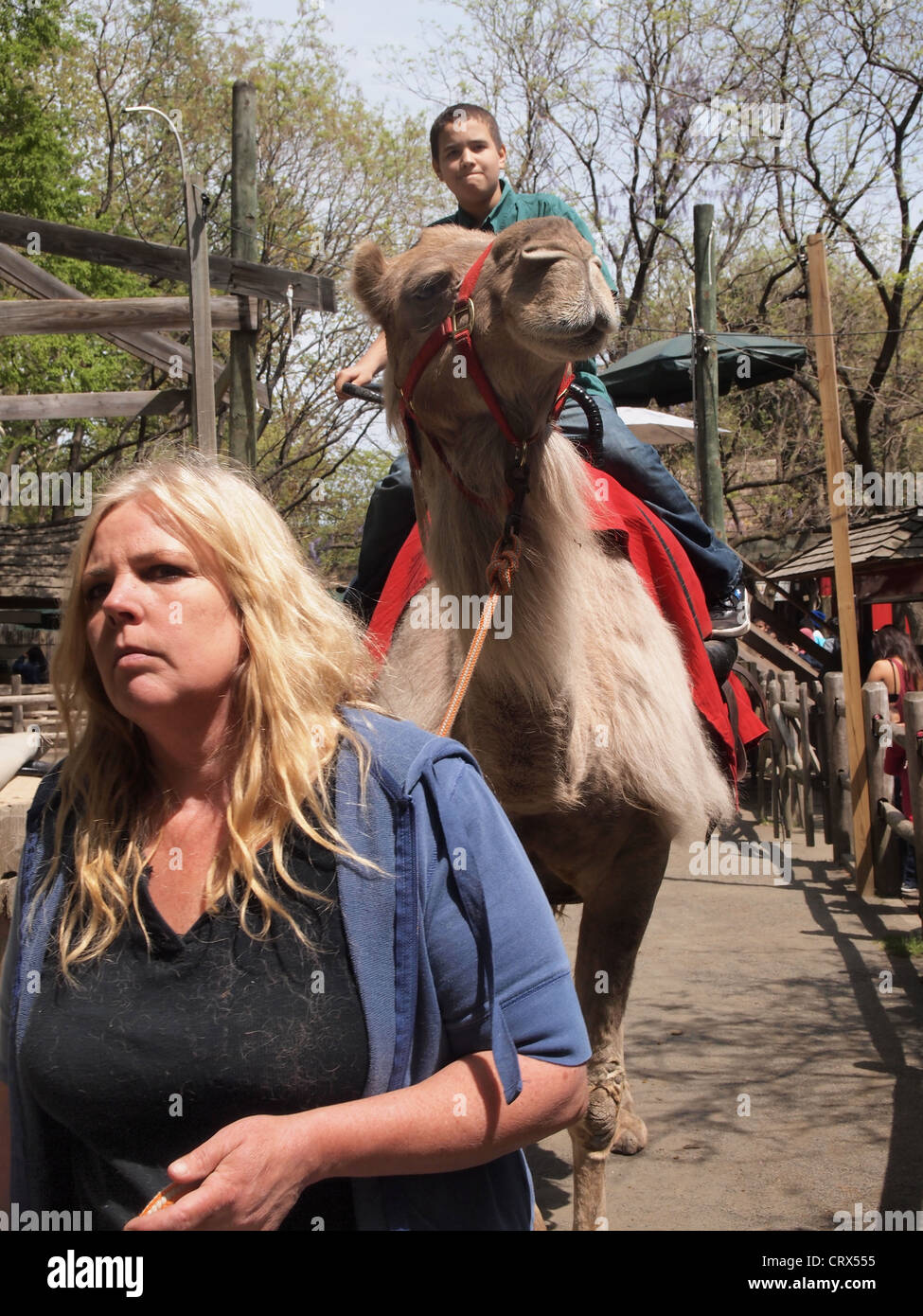 Woman Leading Camel With Boy Rider At The Camel Ride Bronx Zoo