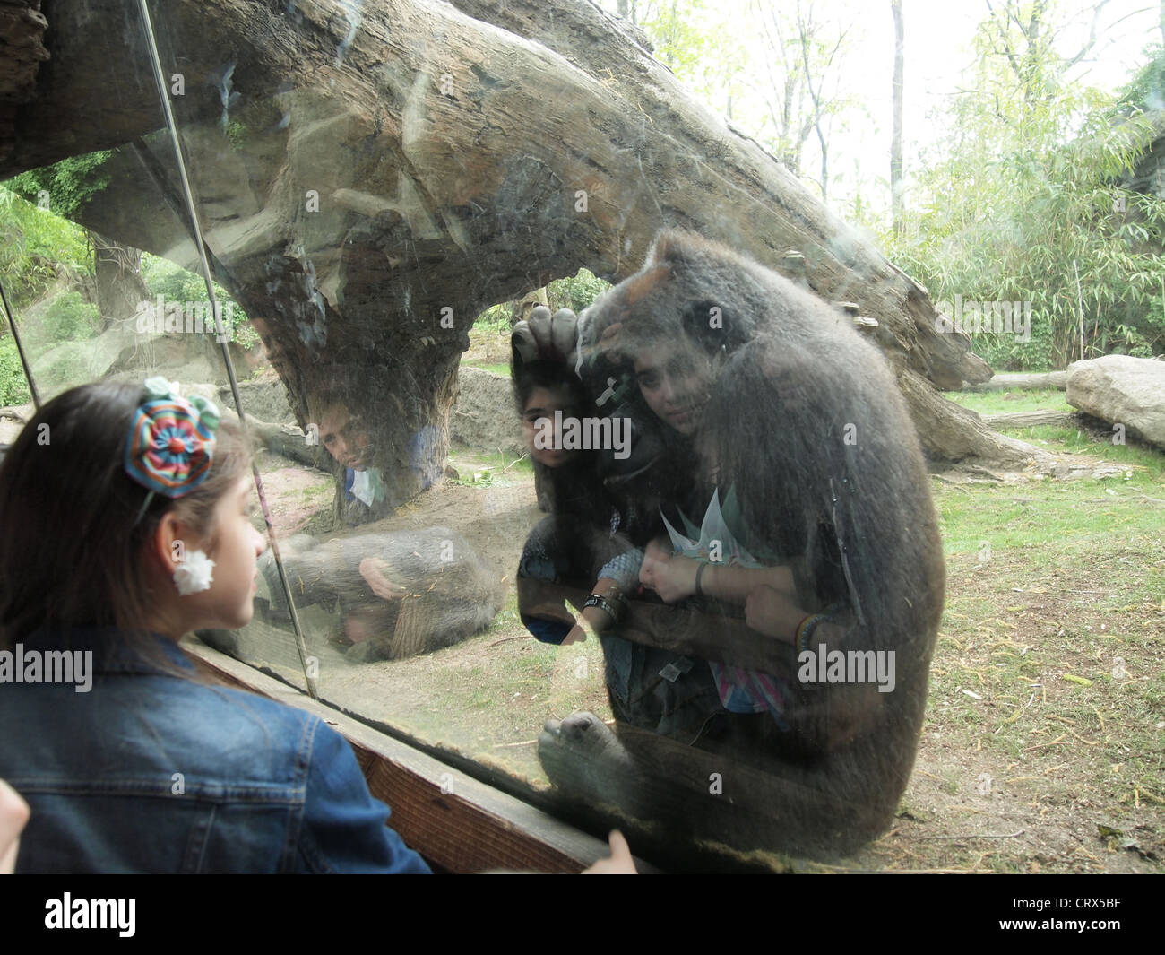 Human Gorilla Contact At The Congo Gorilla Forest Exhibit Bronx Zoo