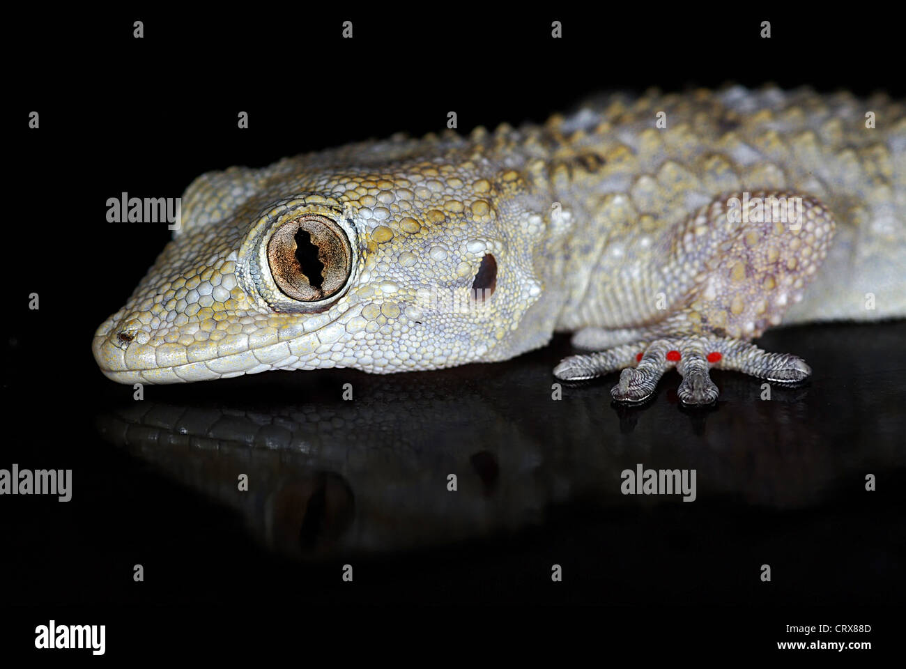 Portratit of European Common Gecko mirrored by dark background - Stock Image