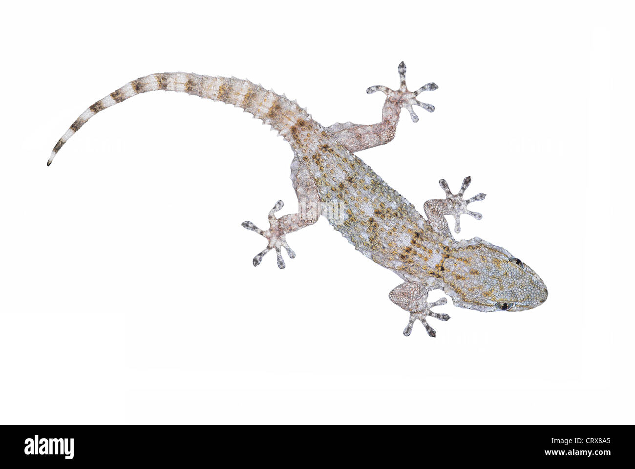 European Common Gecko, Tarentola mauritanica - Stock Image