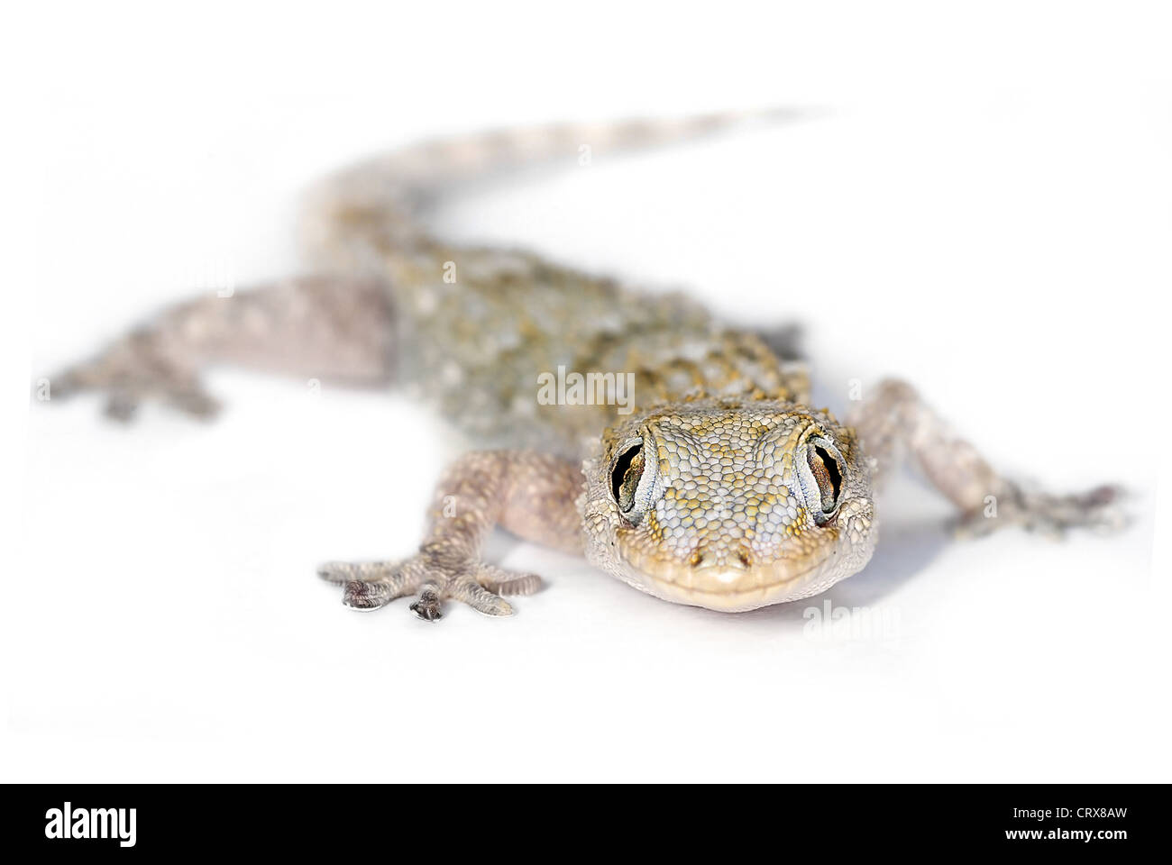 European Common Gecko looking at you, with selective focus on eyes - Stock Image