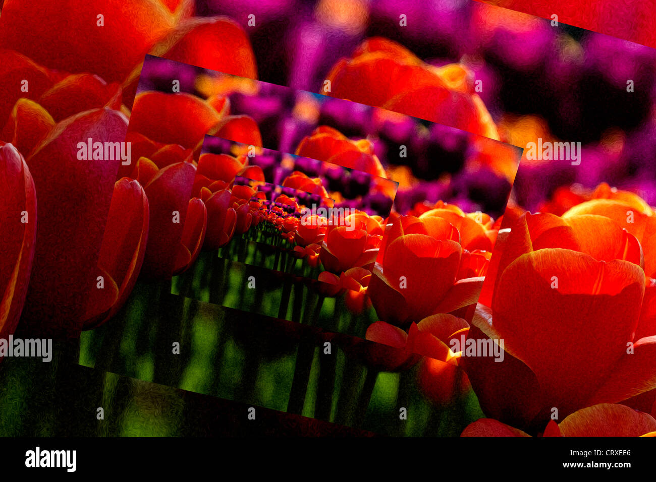 Tulips, La Conner, Washington (digital effect) - Stock Image
