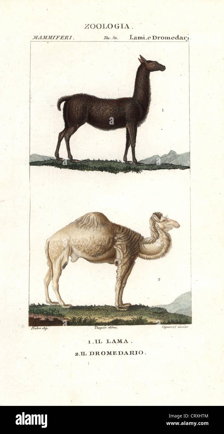Llama, Lama glama, and dromedary camel, Camelus dromedarius. - Stock Image