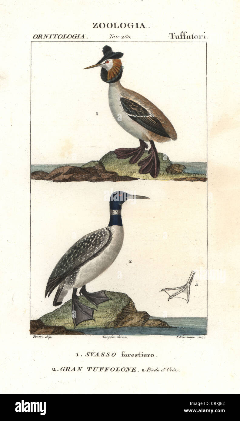 Horned or Slavonian grebe, Podiceps auritus, and great northern loon, Gavia immer. - Stock Image