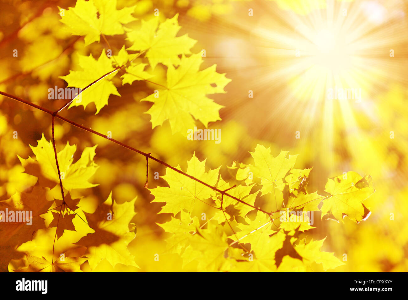 new yellow maple leaf and sun ray - Stock Image