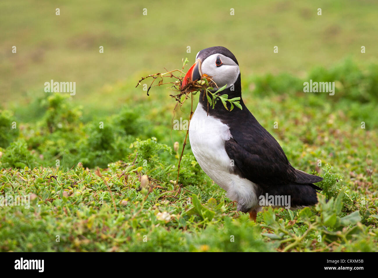 Puffin with nesting material - Stock Image