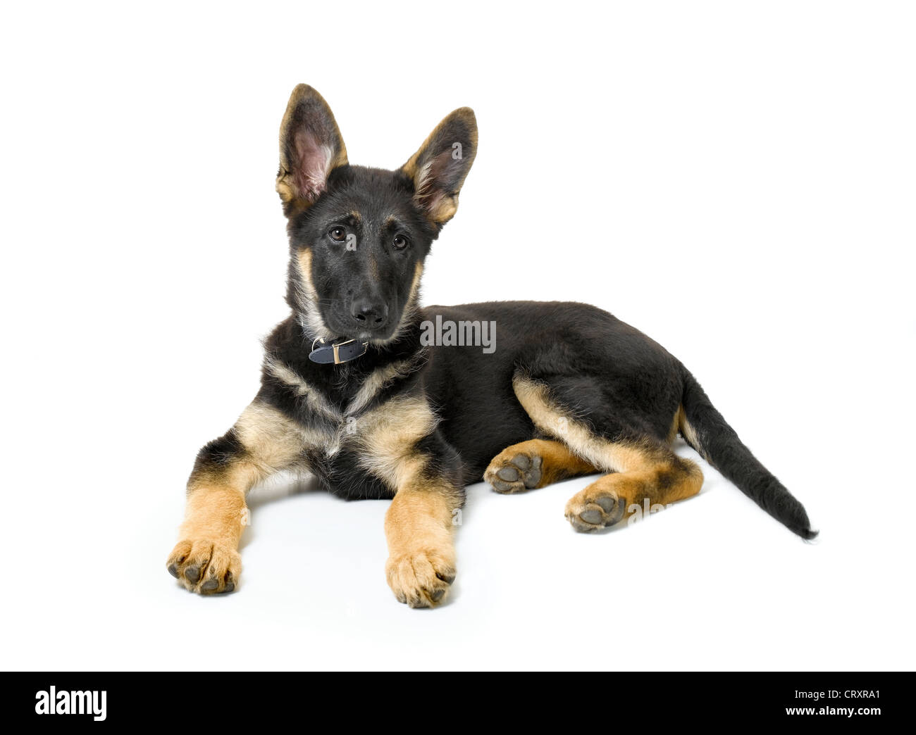 German Shepherd Cut Out Stock Images Pictures Alamy