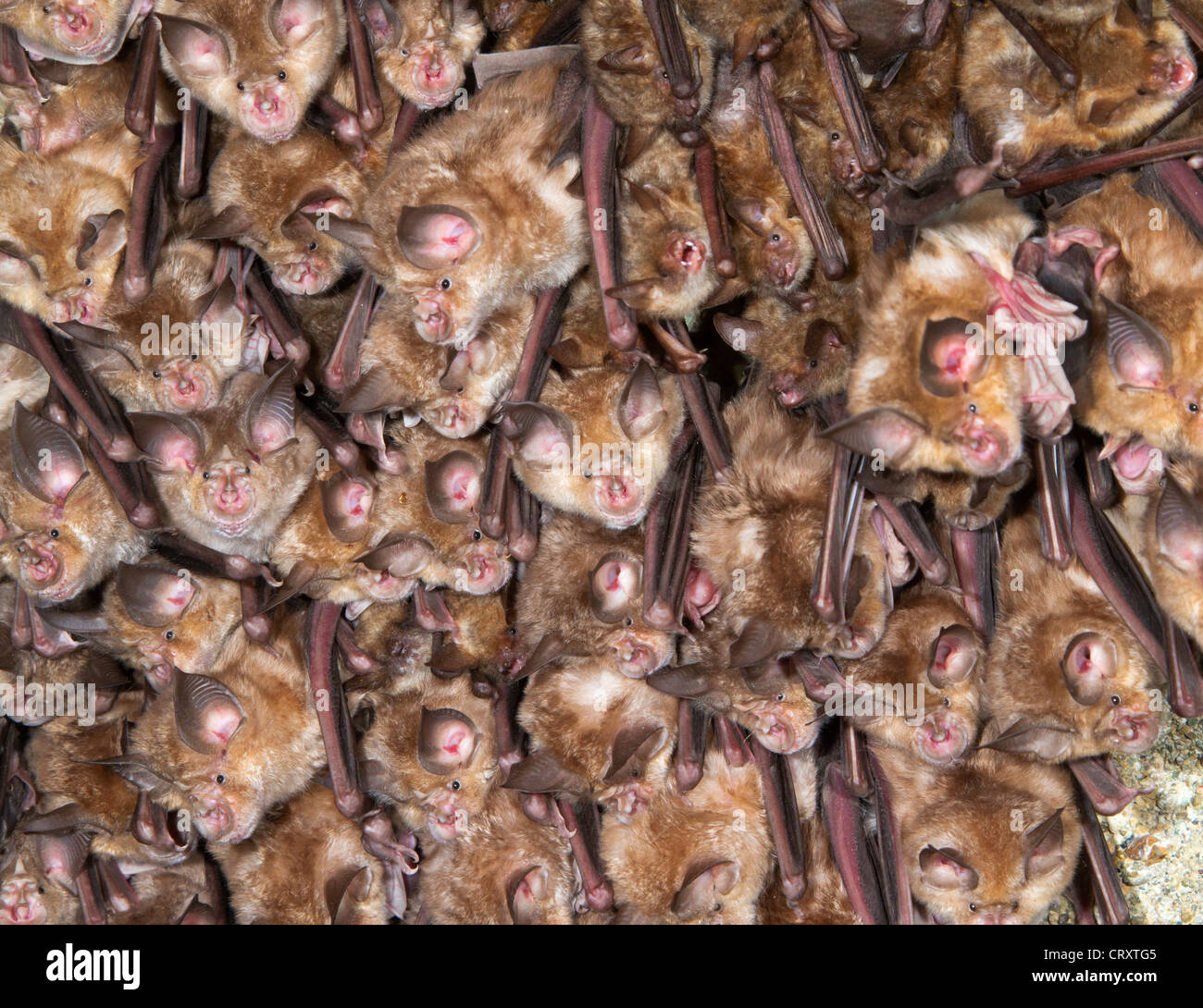 A colony of the greater horseshoe bats (Rhinolophus ferrumequinum) on the ceiling of an abandoned monastery. - Stock Image