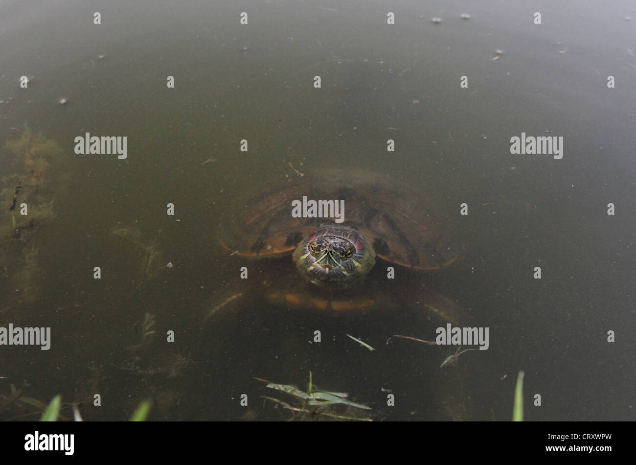 A snapping turtle in water. Stock Photo