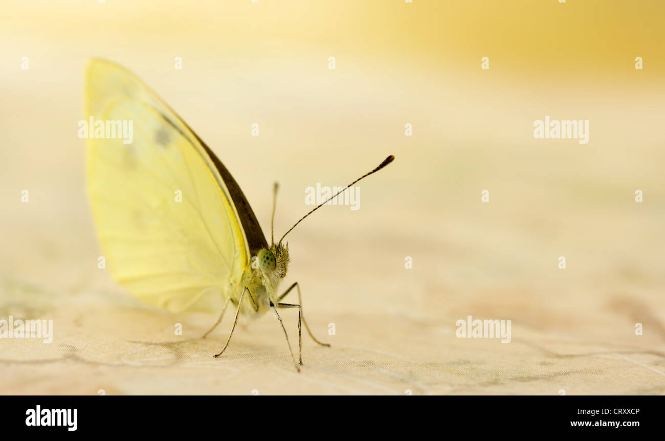 Pale Yellow Butterfly Upclose - Stock Image