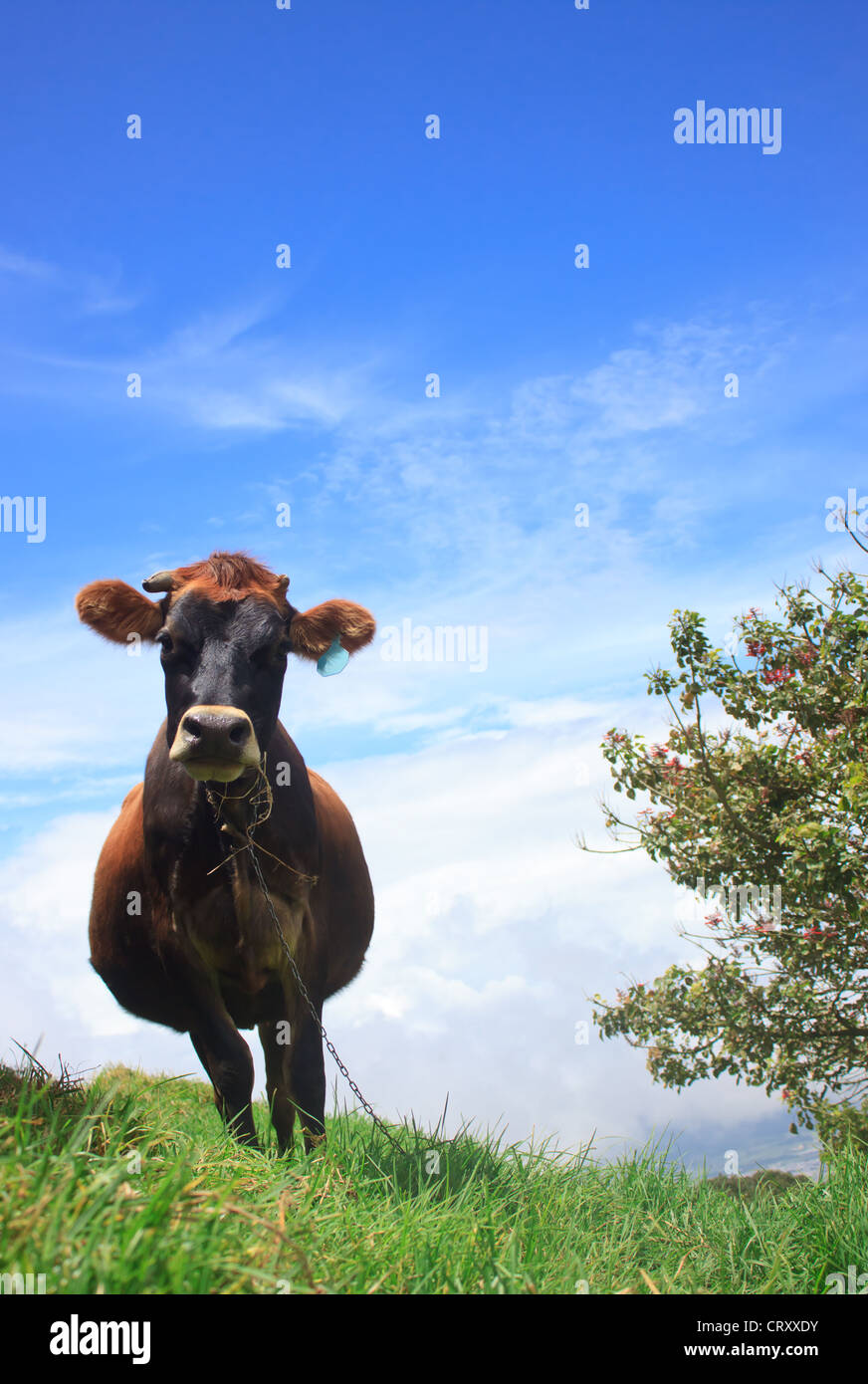 Cow Chewing Twigs on the Mountain Above the Clouds Stock Photo