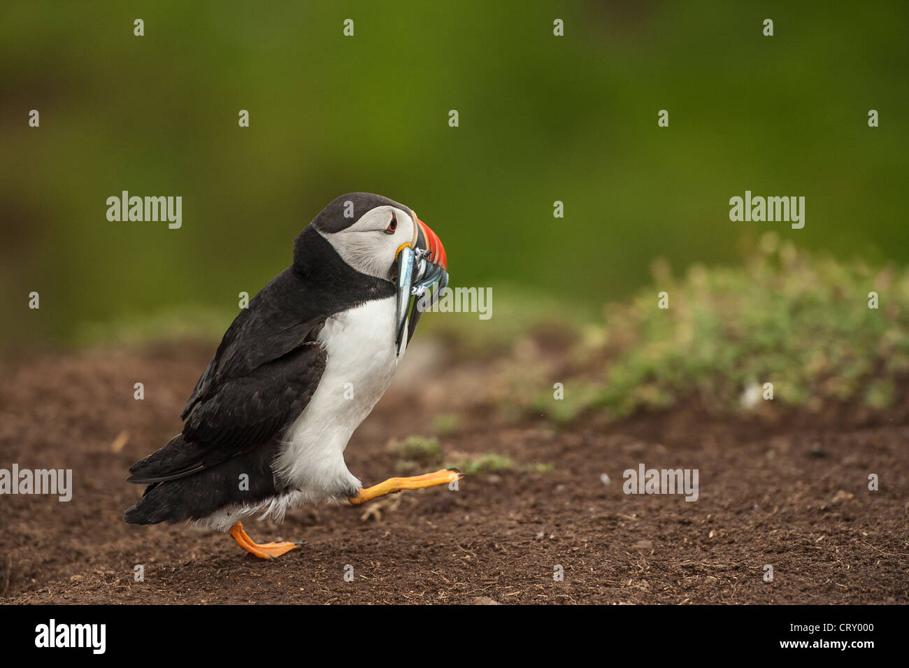 Puffins on Skomer Island with sand eels Stock Photo