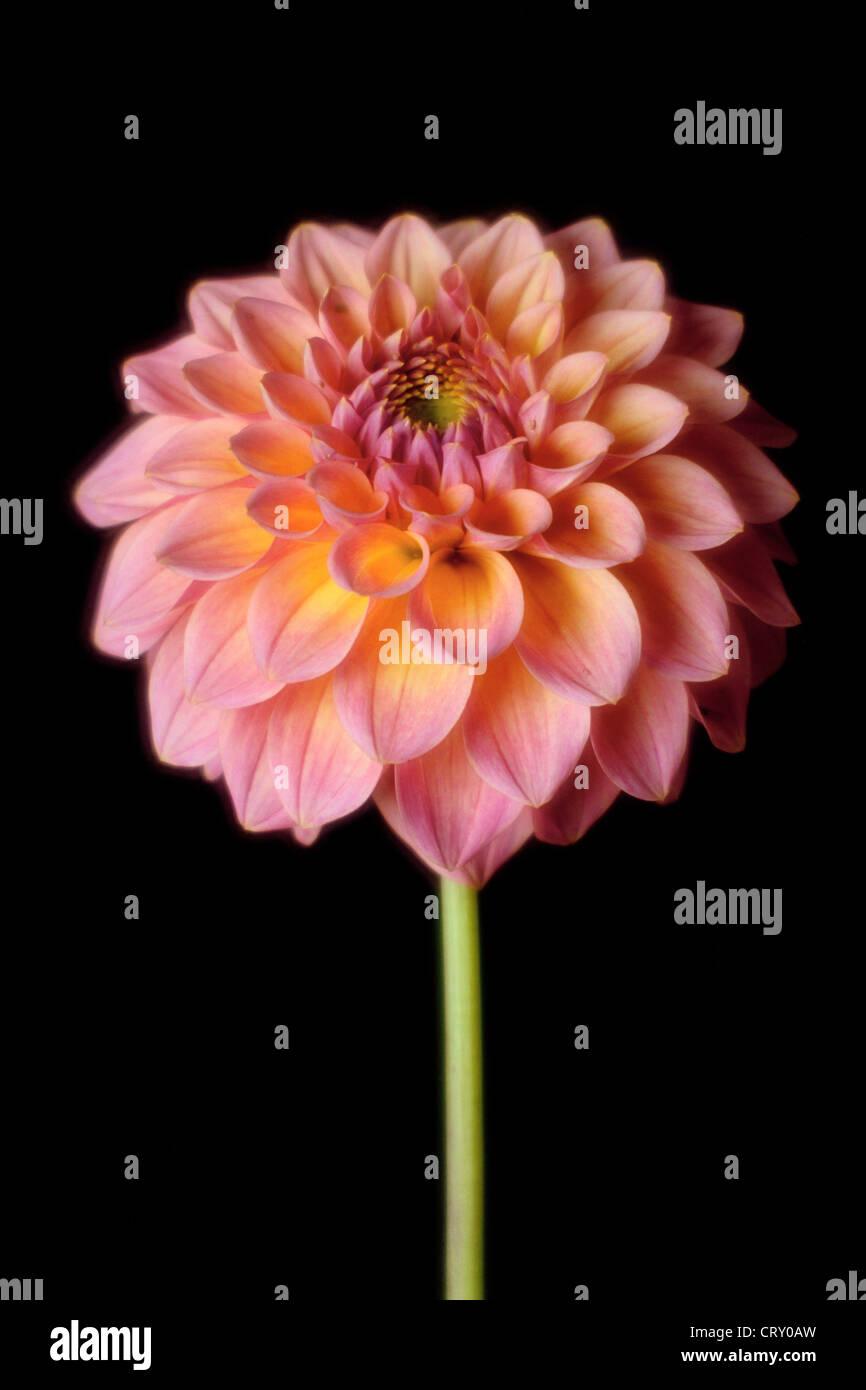 pompom dahlia photographed with rodenstock imagon soft focus lens CRY0AW