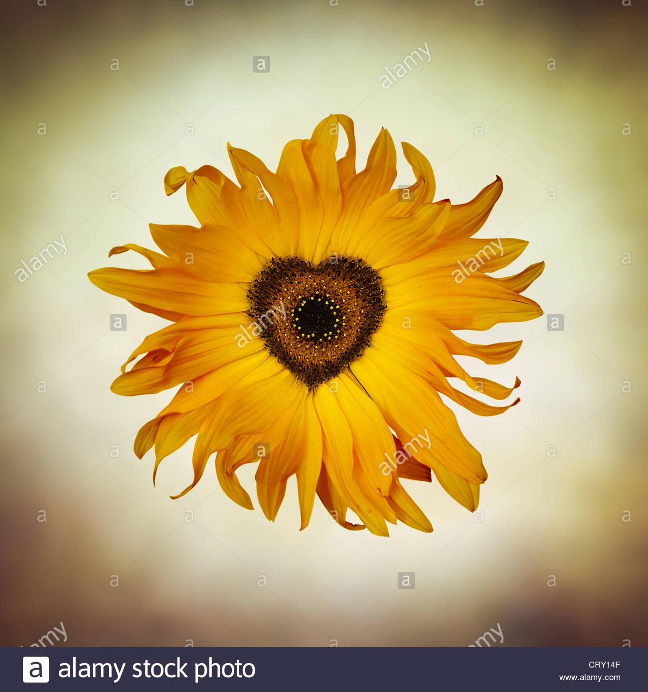 Sunflower Symbol Stock Photos Sunflower Symbol Stock Images Alamy