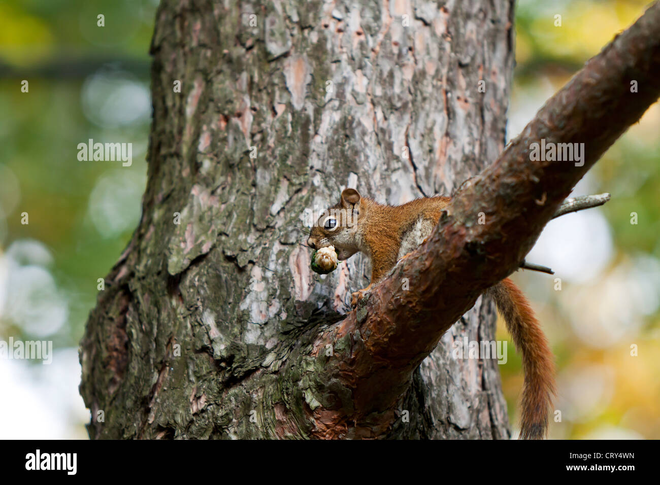 Squirrel eating a pine cone,Sciuridae - Stock Image