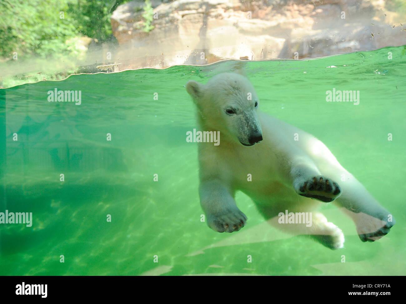 Polar Bear Ursus maritimus Thalarctos maritimus - Stock Image