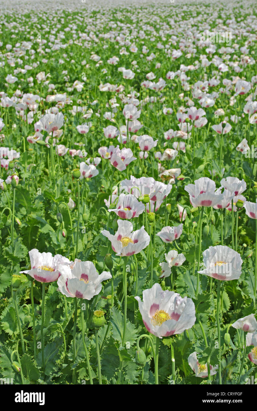 field of a genuine poppy flowers - Stock Image