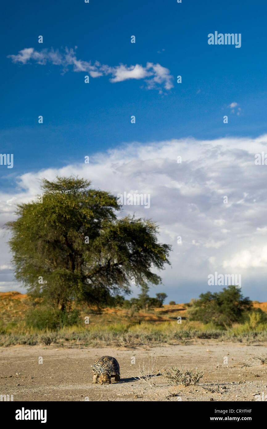 Leopard tortoise followed by a kalahari tent tortoise in Kalahai landscape (Geochelone pardalis, Psammobates Oculifer) - Stock Image