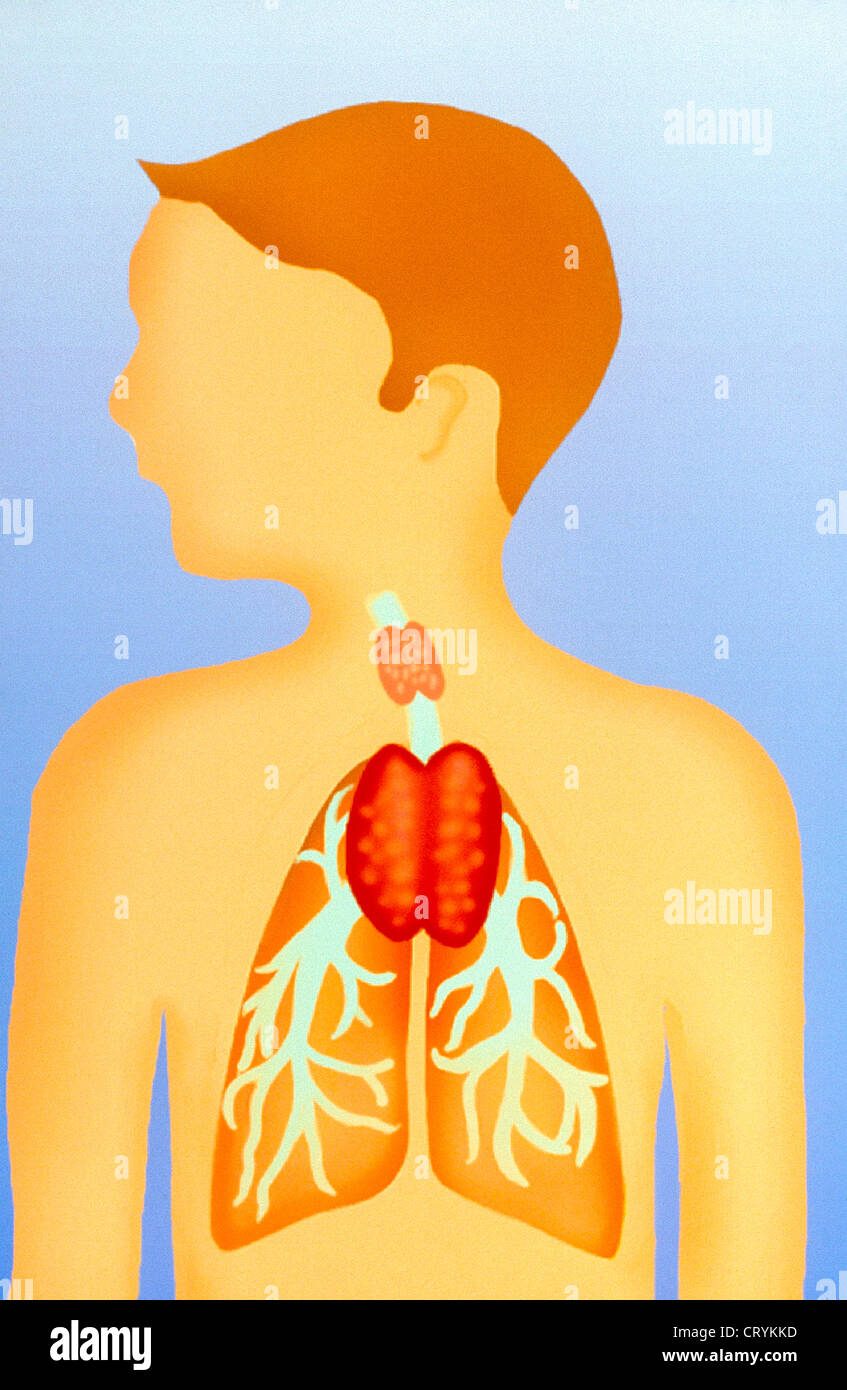 Thymus Gland Drawing Stock Photo 49165969 Alamy