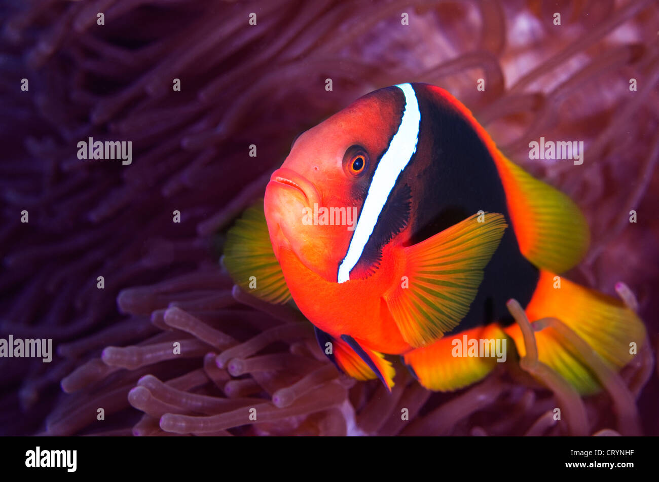 Anemone Fish Nemo Stock Photos & Anemone Fish Nemo Stock Images - Alamy