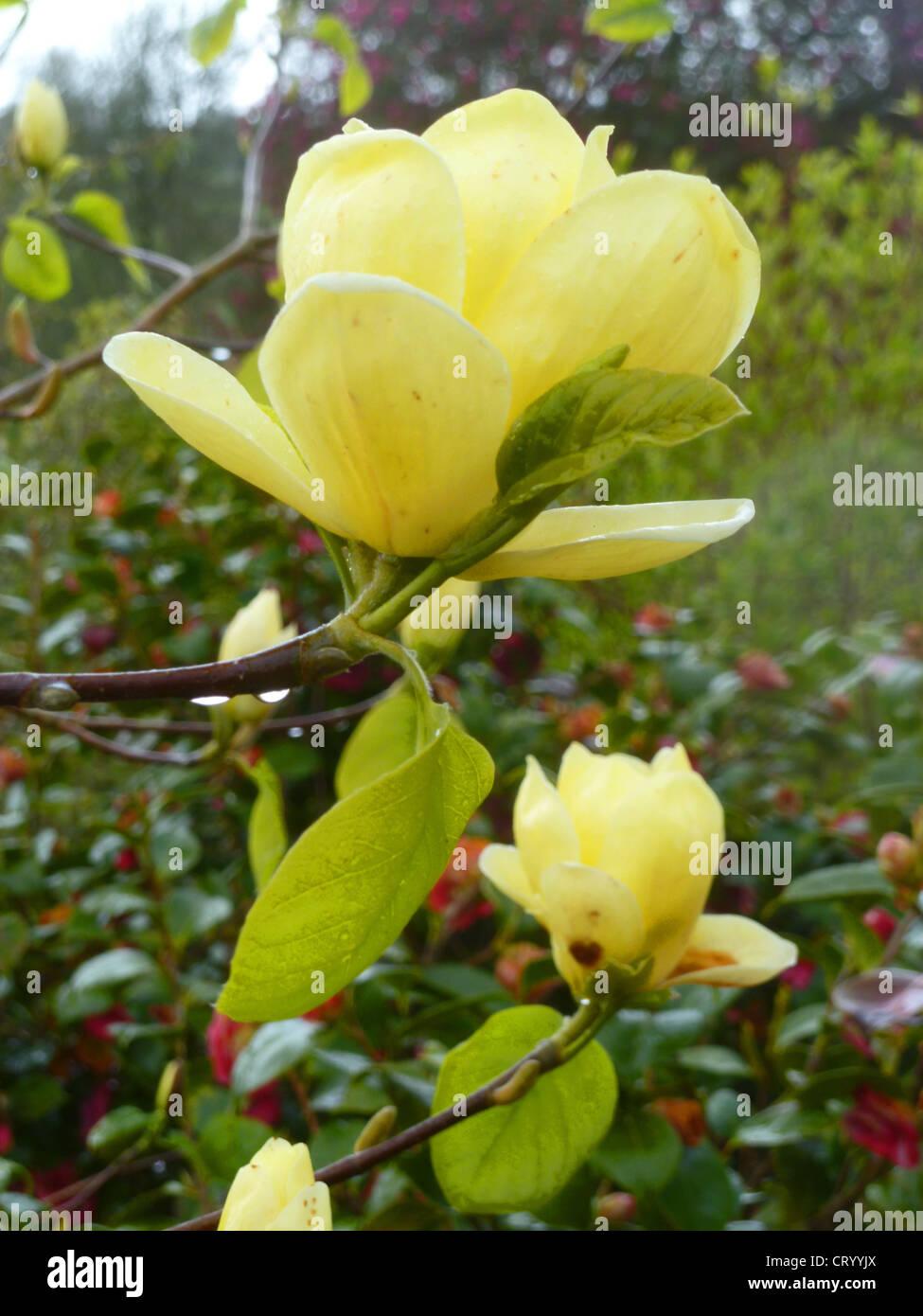 Yellow flowered magnolia stock photos yellow flowered magnolia magnolia lois one of the very best deciduous yellow flowered hybrids stock mightylinksfo