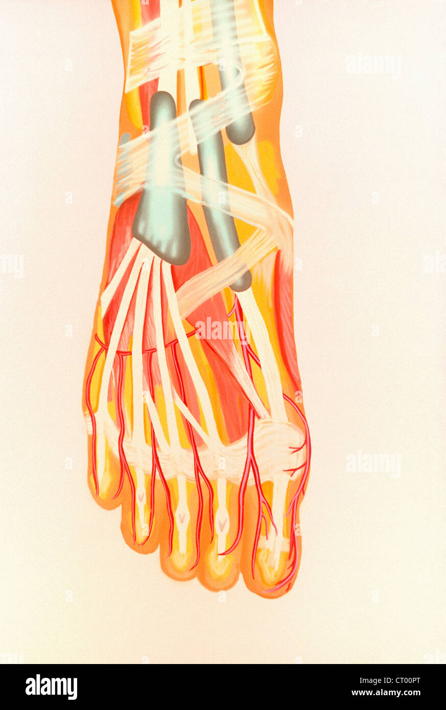 Foot Anatomy Tendons Ligaments Stock Photos Foot Anatomy Tendons
