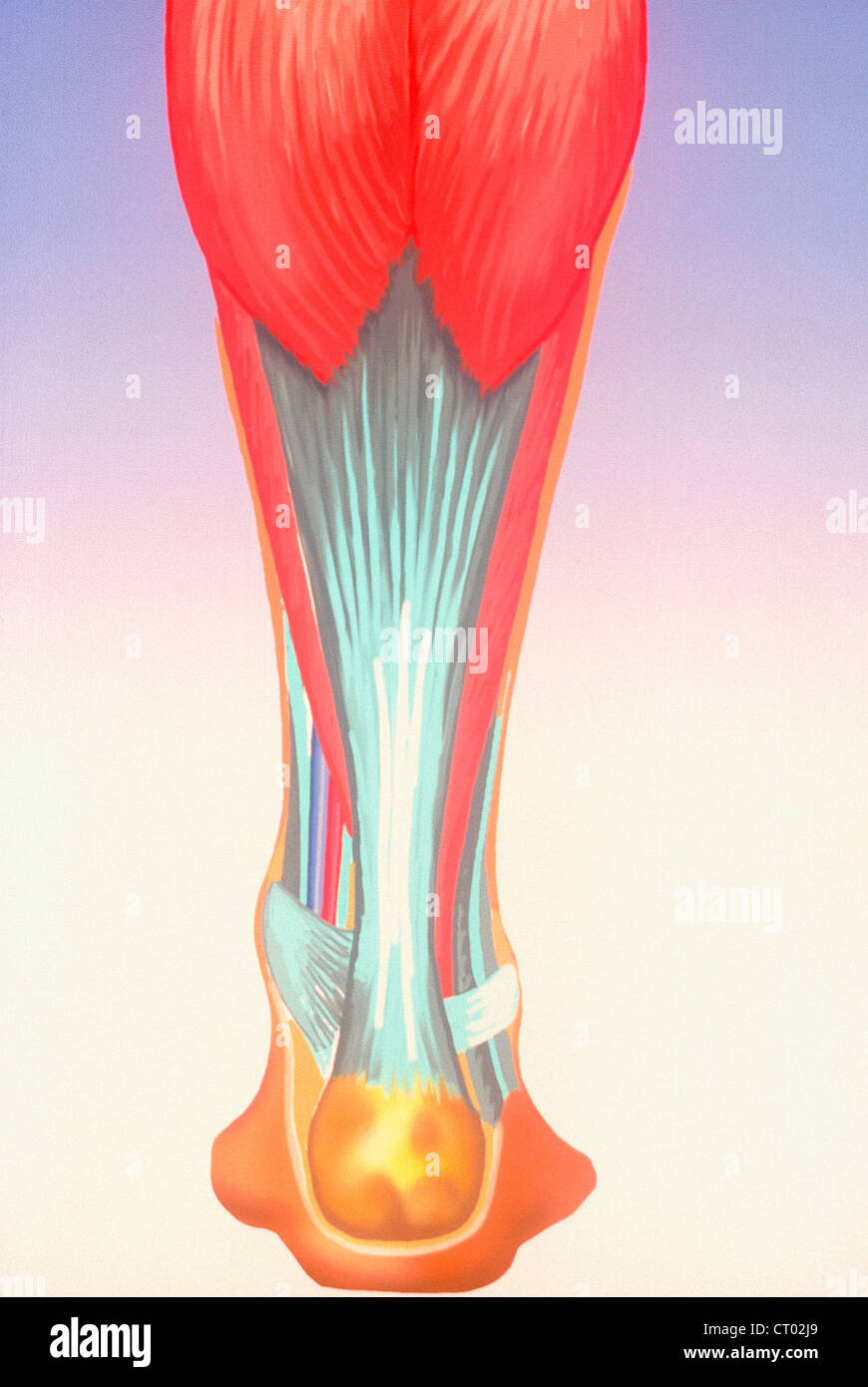 ACHILLE\'S TENDON, DRAWING Stock Photo: 49174561 - Alamy
