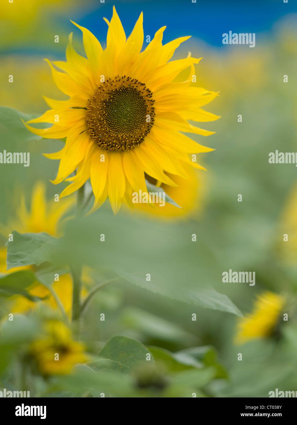 Sunflower festival, Okinawa, Japan - Stock Image