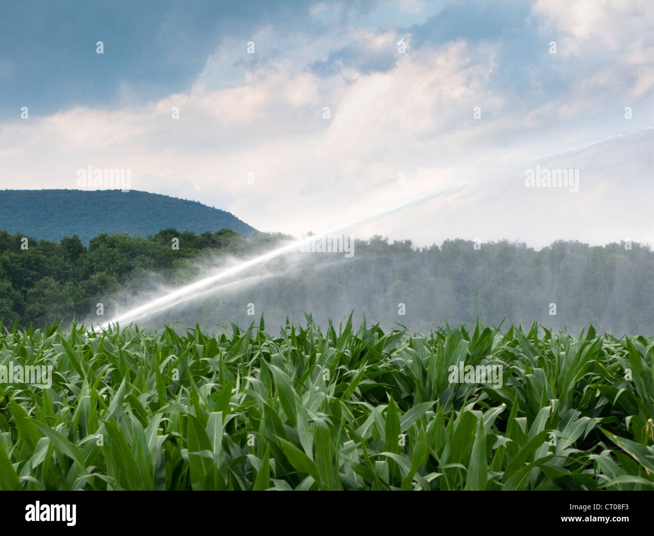 sprinkler watering corn field - Stock Image