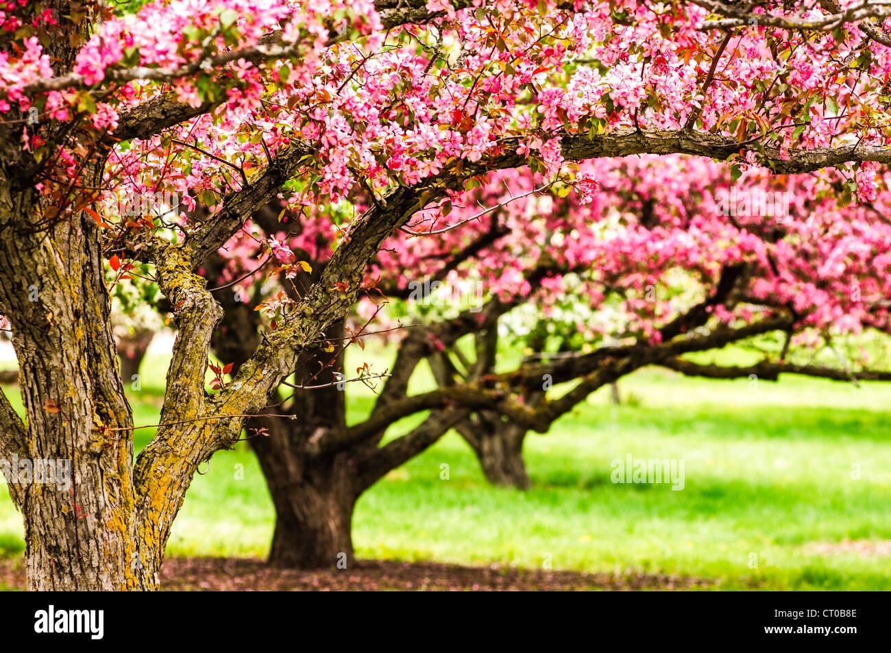 Apple trees in bloom at the University of Minnesota Landscape Arboretum in spring. Stock Photo