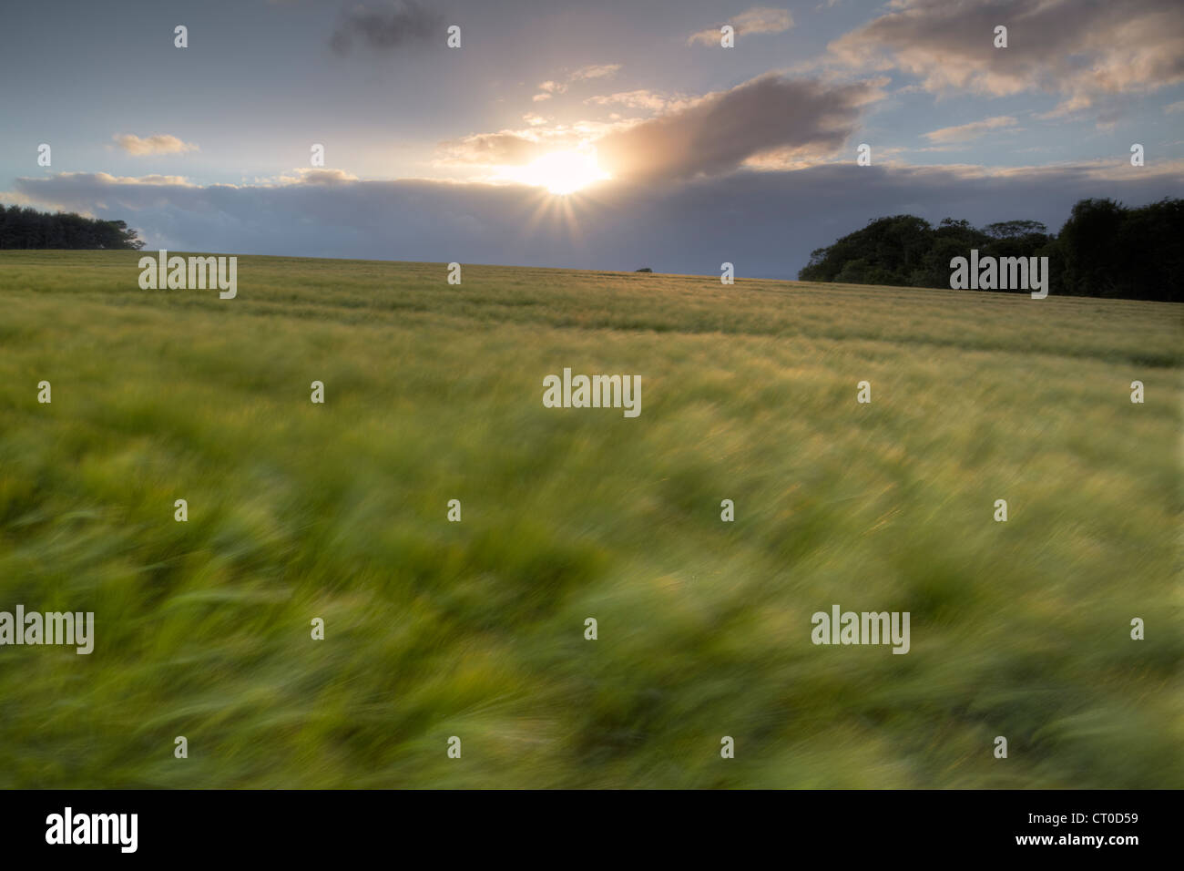 Wheat field blurred by heavy wind blowing across the landscape at sunset in the Devon countrside. Stock Photo