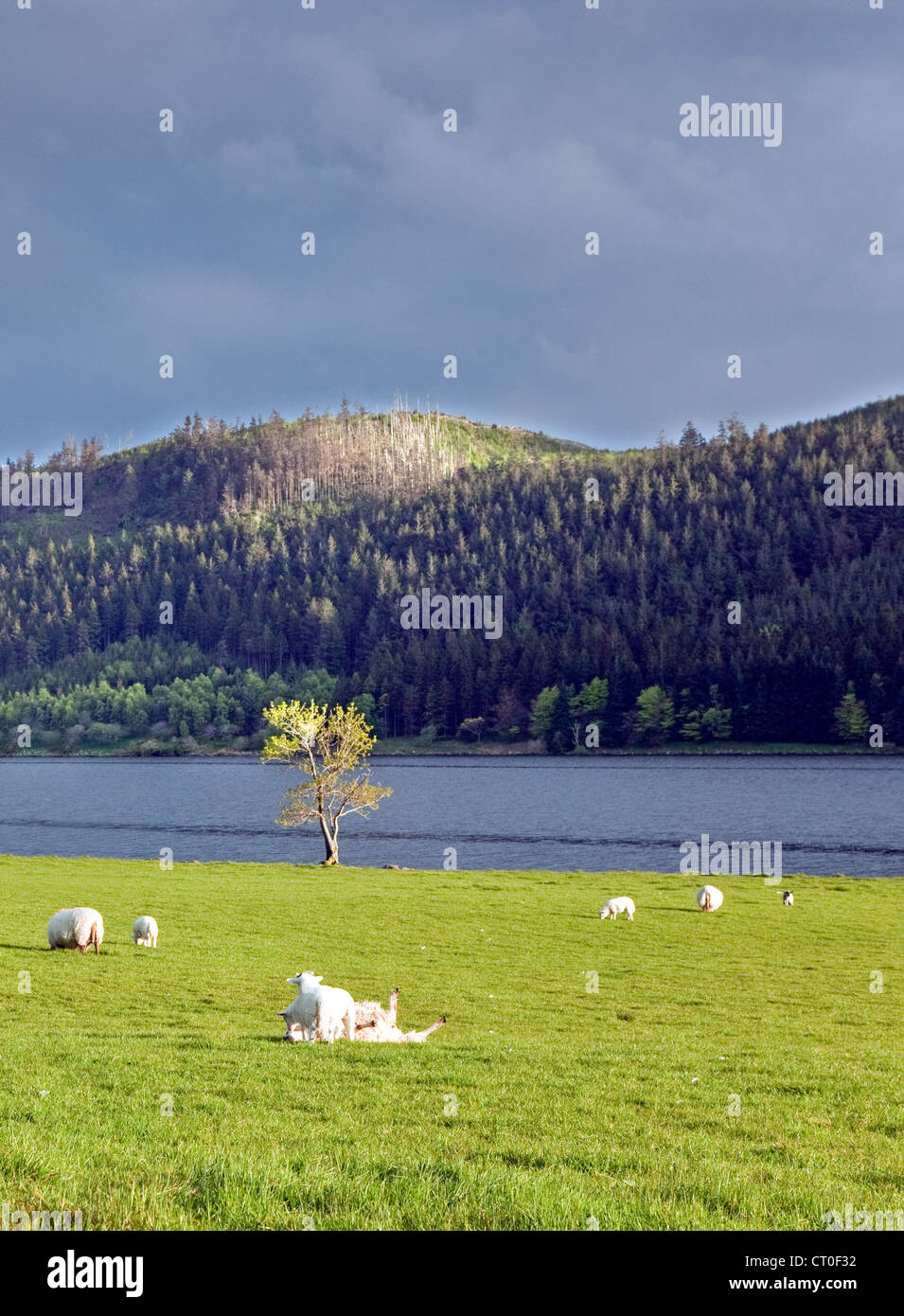Sheep grazing lit by late evening light on the lake shore of Llyn Cwellyn in the Nant-y-Betws Valley, Snowdonia - Stock Image