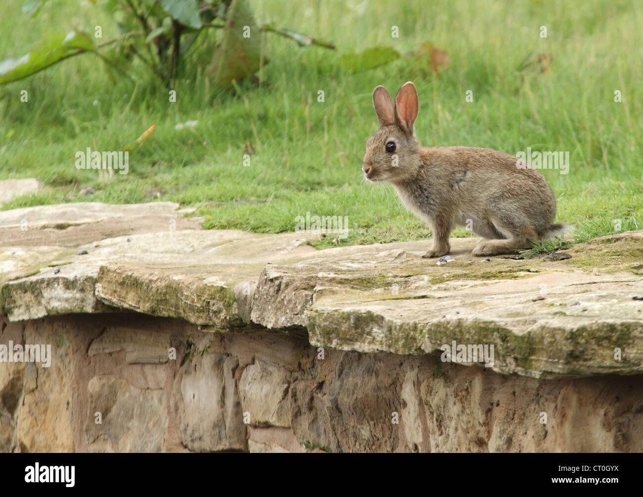 rabbit eating on a grass embankment - Stock Image