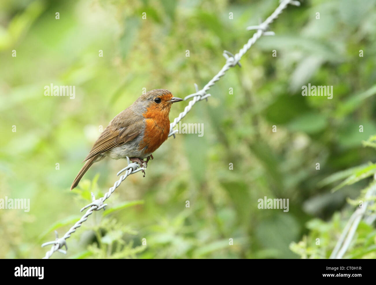 robin bird on barbed wire fence Stock Photo