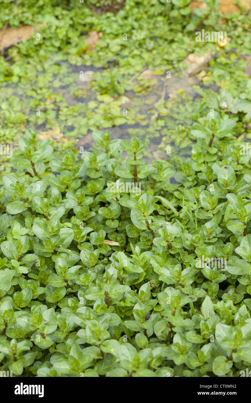 Wild Watercress growing in a watercress bed in a springwater stream at Swinbrook, the Cotswolds, UK Stock Photo