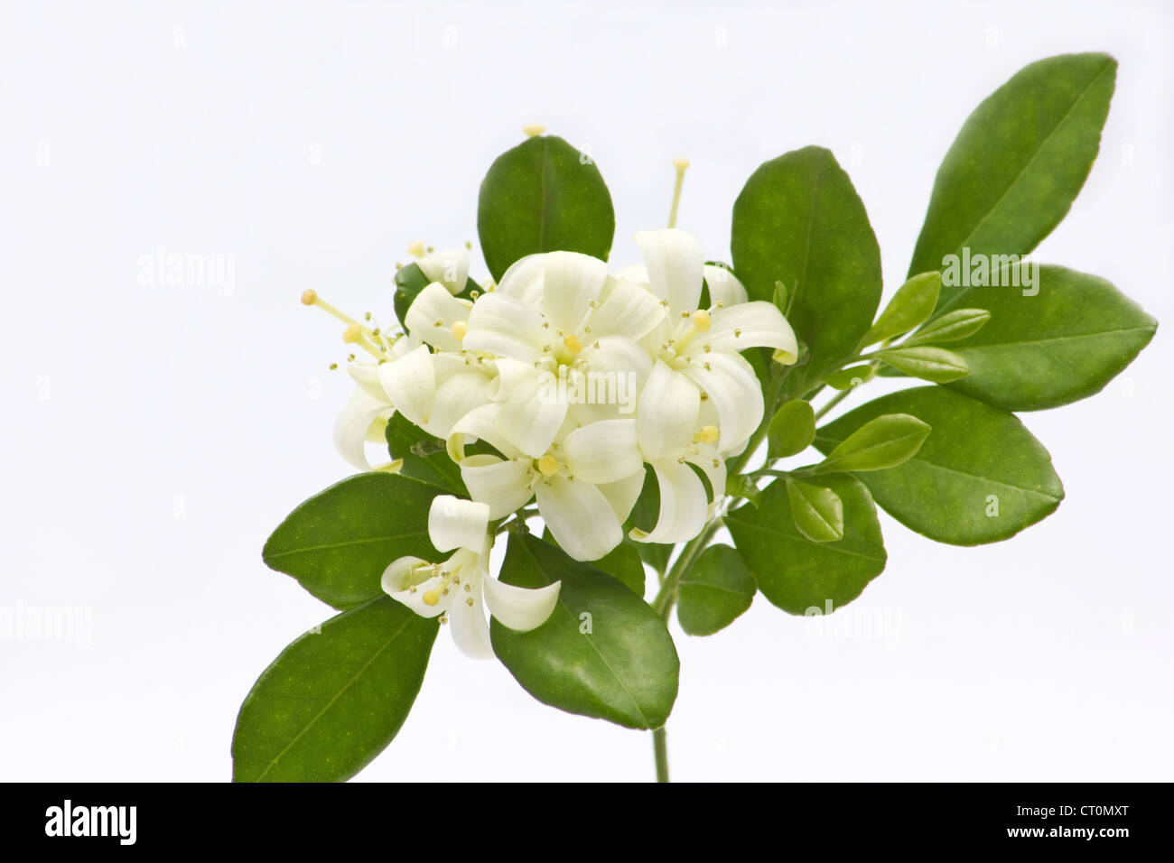 Murraya Plant High Resolution Stock Photography And Images Alamy