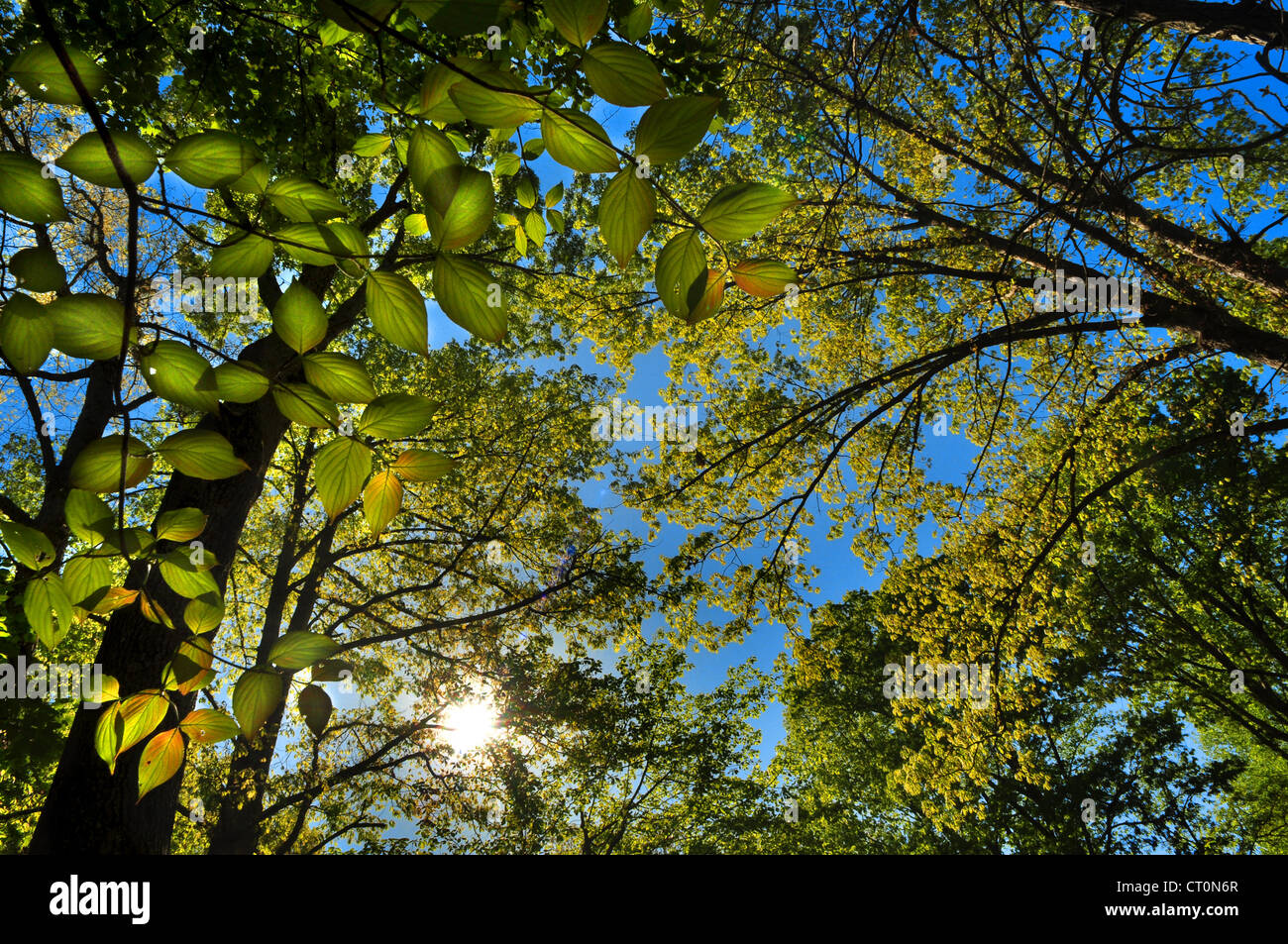 Looking up through the spring green growth of the forest with the sun shinning in the blue sky - Stock Image