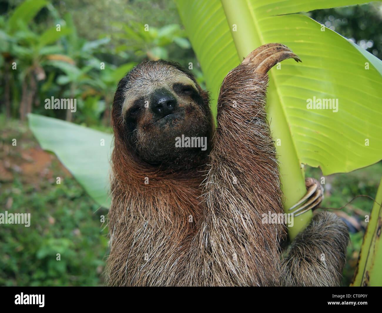 Three-toed sloth in a banana tree, Costa Rica Stock Photo