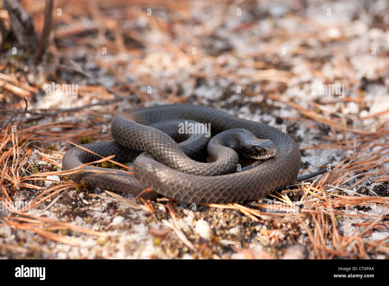 Young Northern Black Racer Coluber C Constrictor Snake