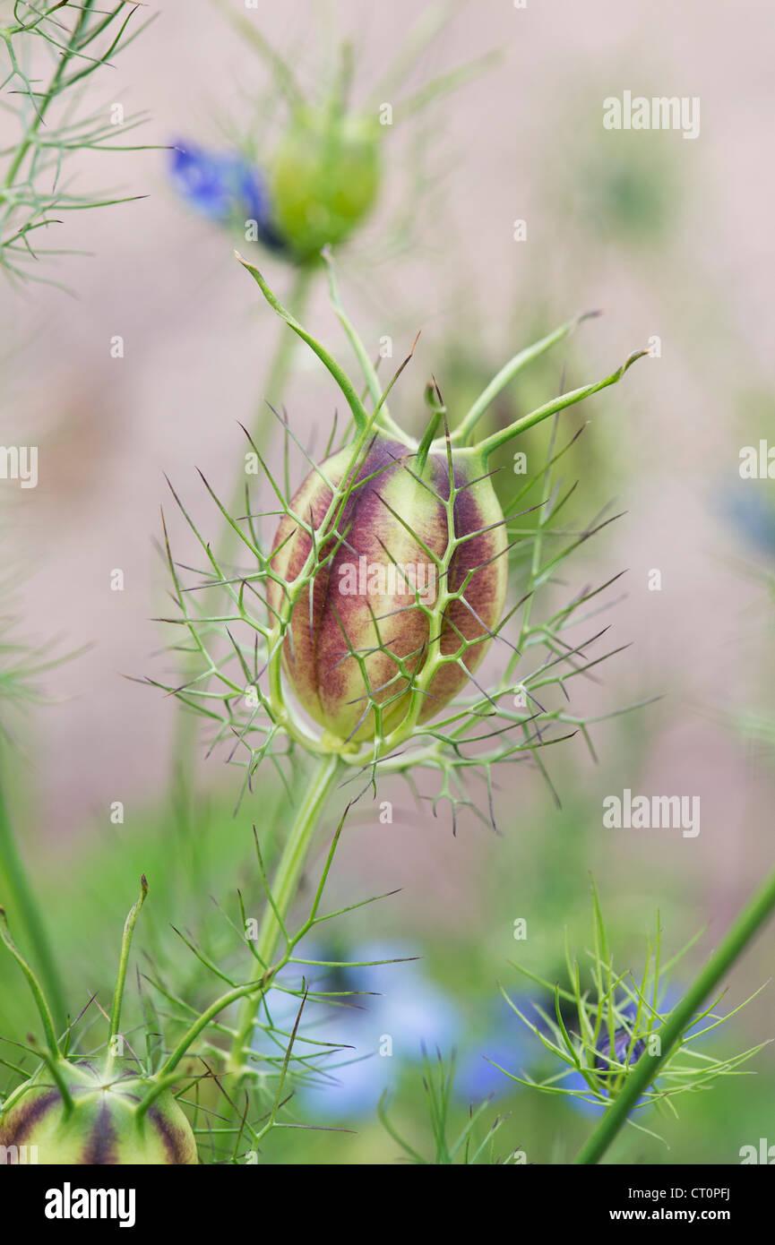 Nigella damascena. Love in a mist seed pods - Stock Image