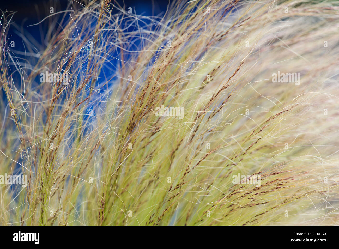 Stipa tenuissima. Mexican Feather grass and seed - Stock Image