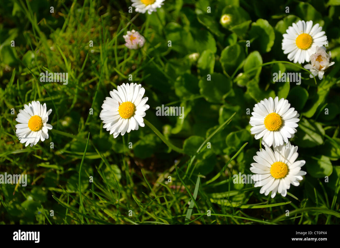 Closeup Of Small Sun Flowers With Yellow Middle With Lot White