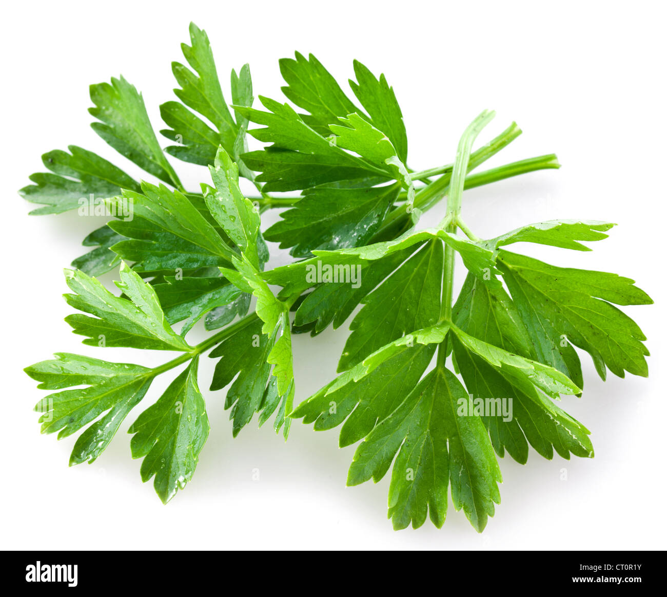 Bunch of green coriander on a white background. - Stock Image
