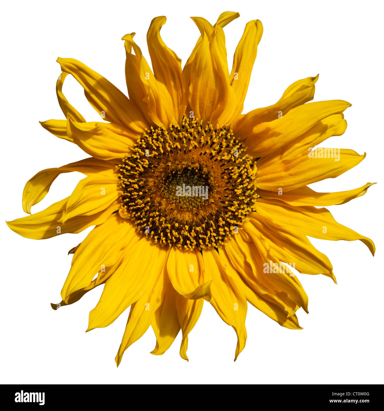 Cut out of a sunflower - Stock Image