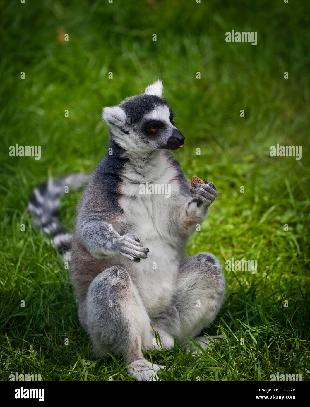 Ring tailed lemur at Paradise Wildlife Park, Broxbourne Stock Photo