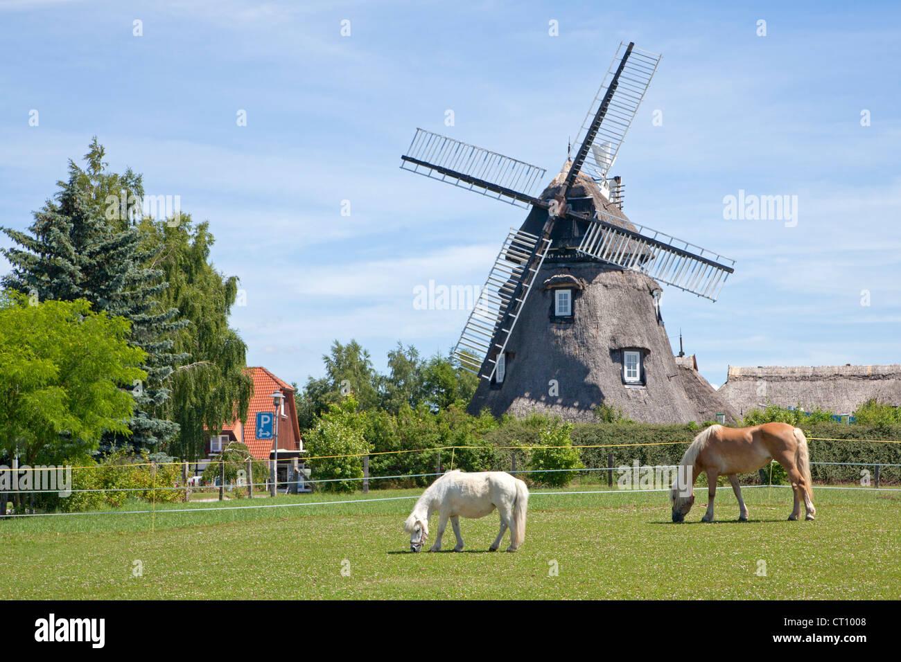 ponies in front of windmill, Mecklenburg Village near Wismar, Mecklenburg-West Pomerania, Germany - Stock Image