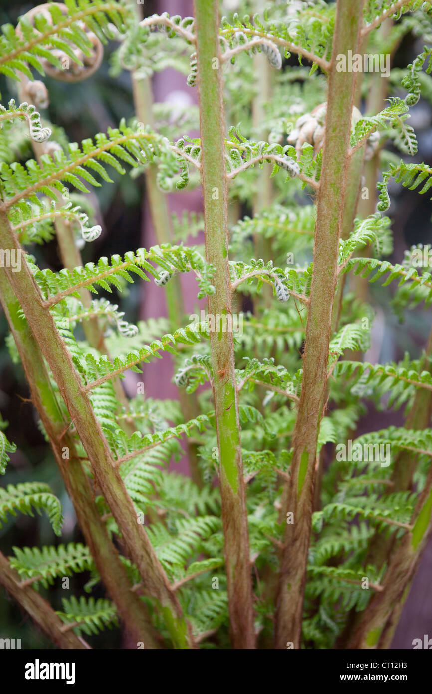 Dicksonia antartica - Tree Fern. Crosiers unfurling as the grow to full size - Stock Image