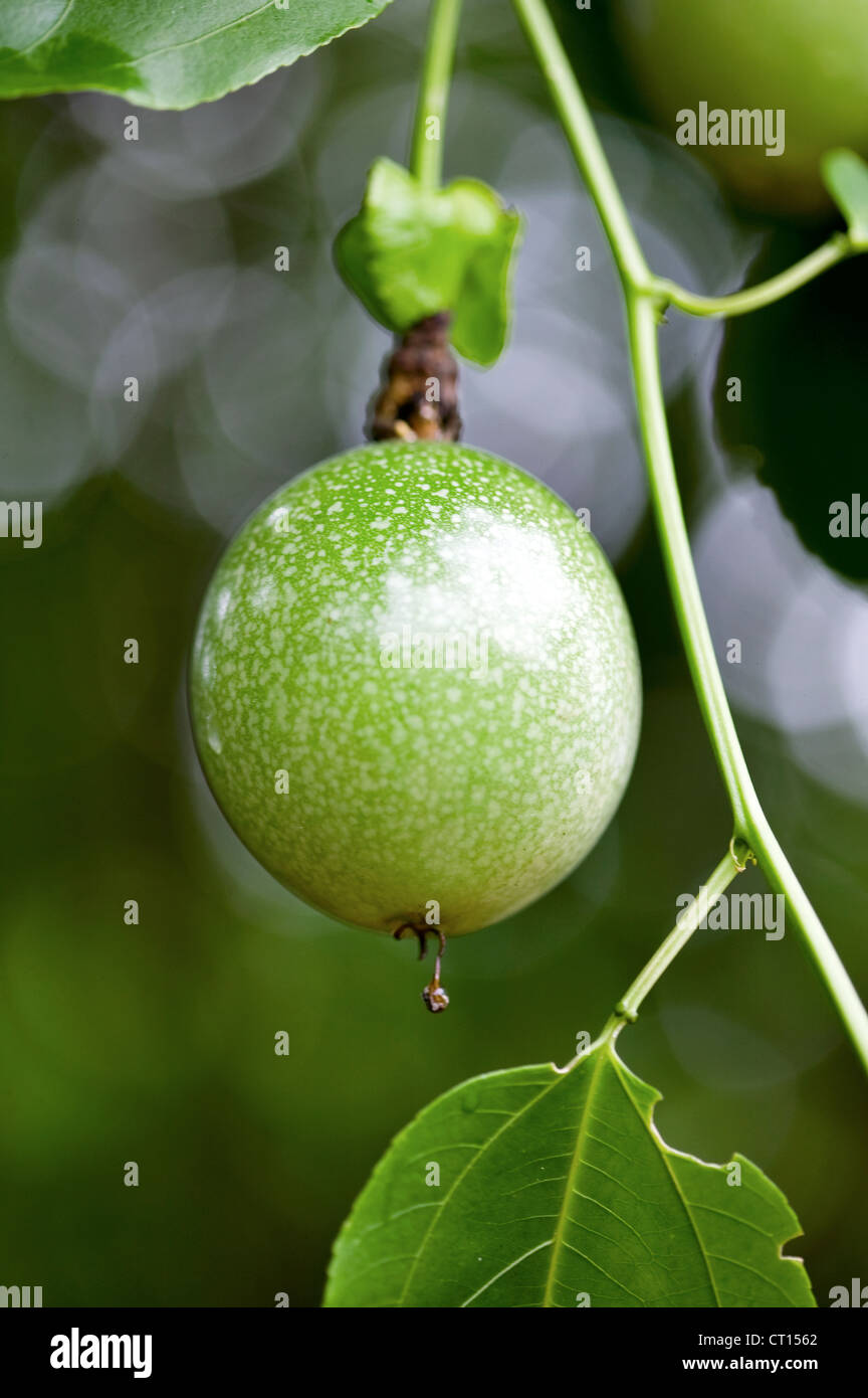 Close up of fruit growing on tree - Stock Image
