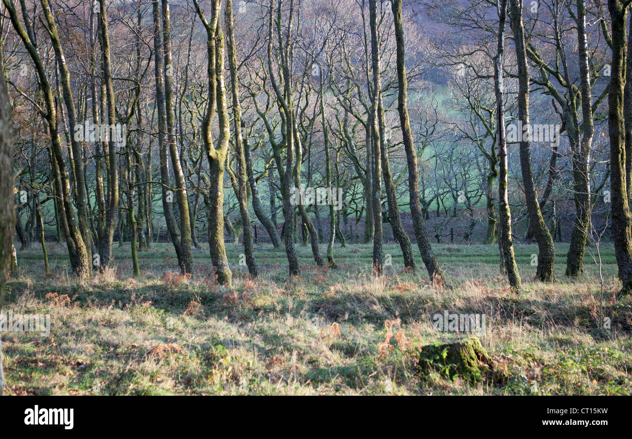 Bare trees in forest - Stock Image
