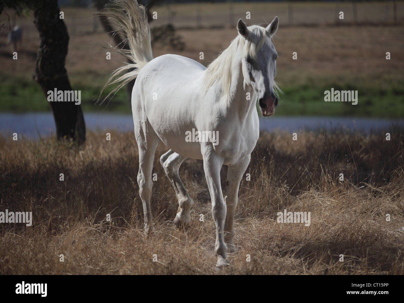 Horse walking in dry field - Stock Image